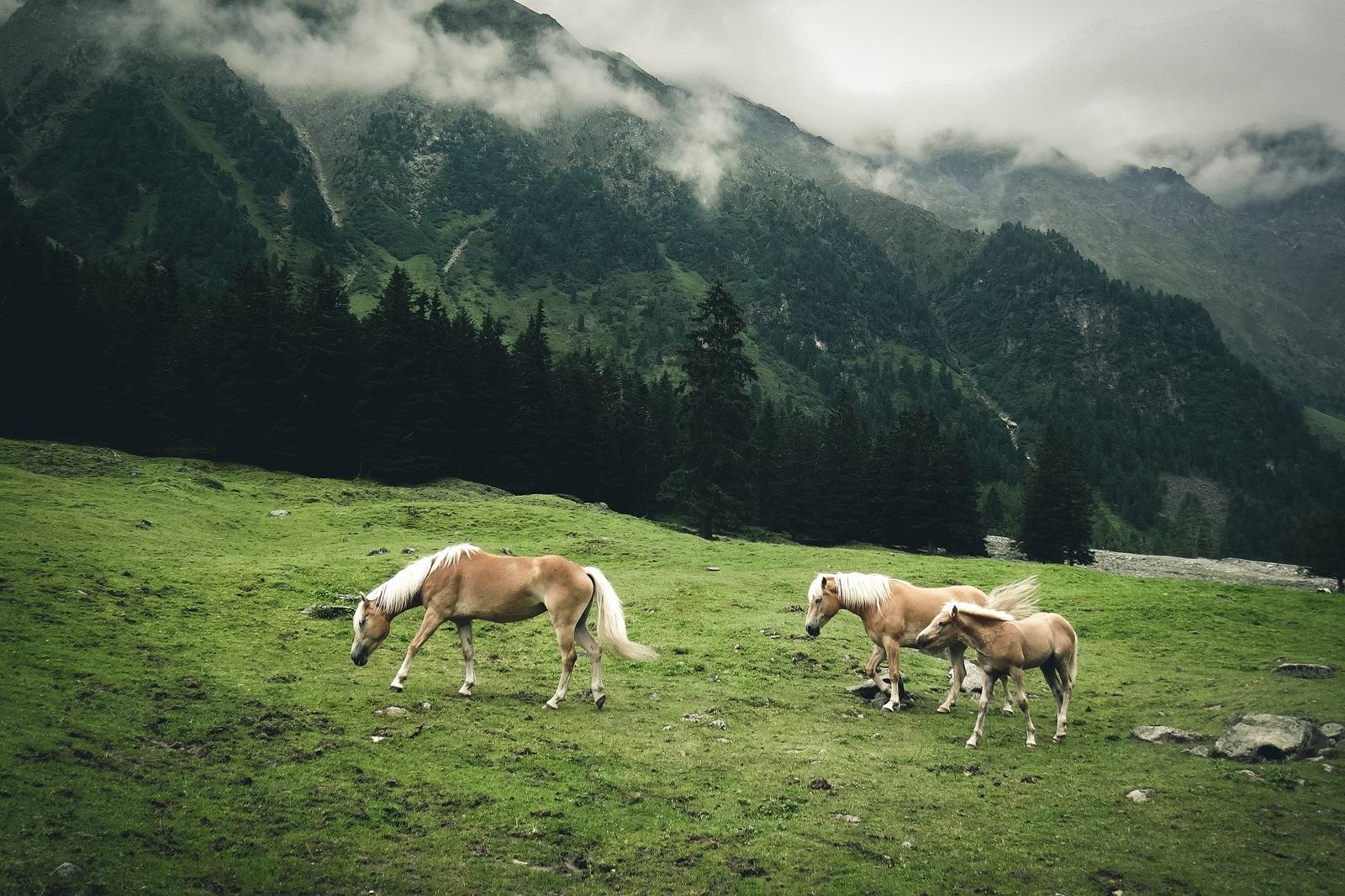 Haflinger Pferde auf dem Weg zur Pforzheimer Hütte.