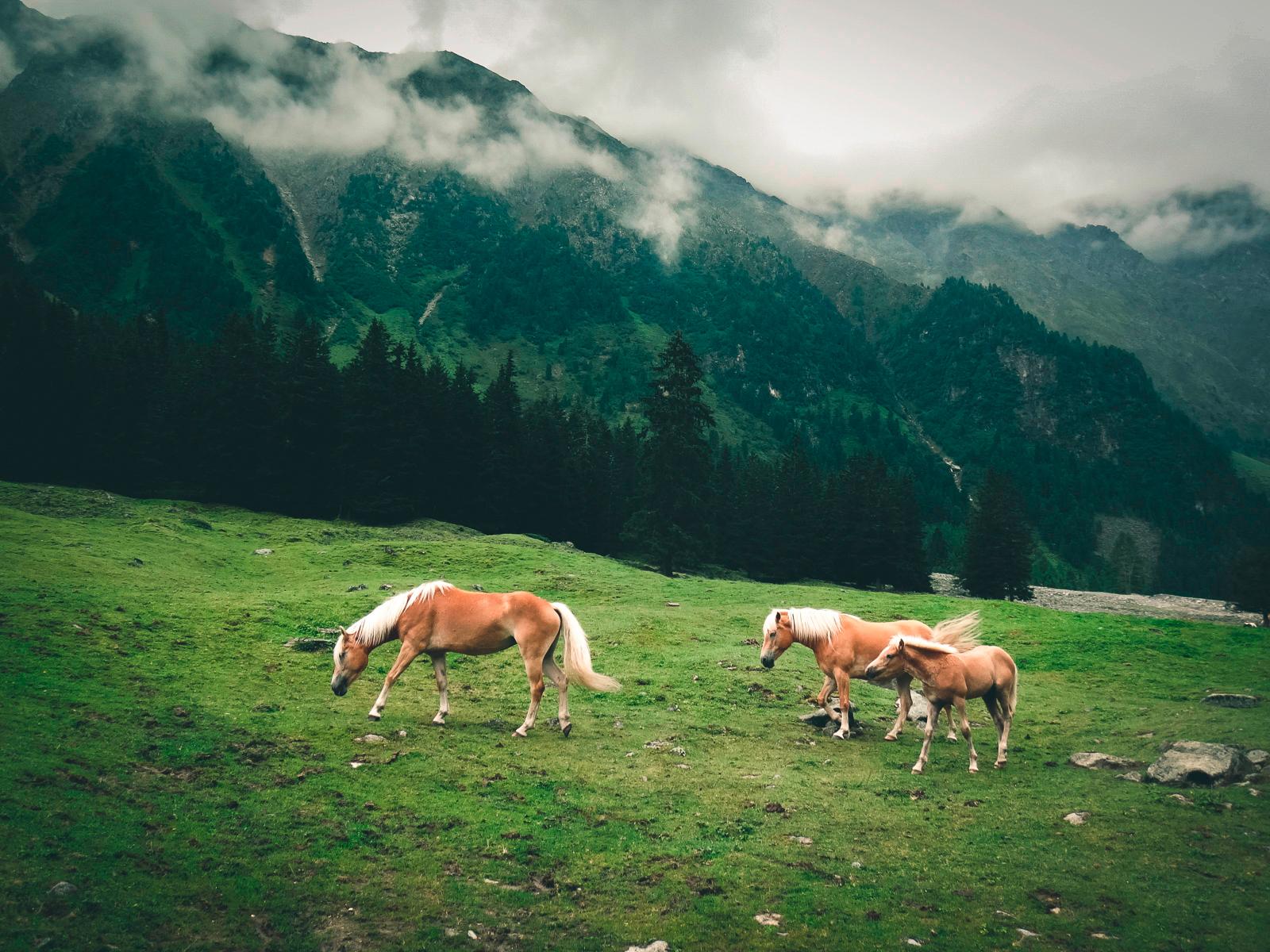 Auf dem Weg zur Pforzheimer Hütte kommt man an vielen Almwiesen vorbei.