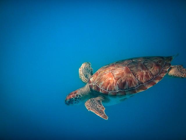 Schildkröte beim Schnorcheln vor Barbados
