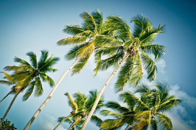Karibische Palmen, Dominikanische Republik