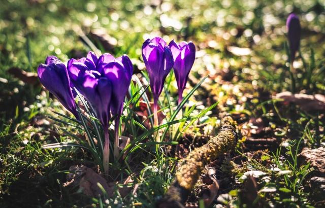 Krokusse, Luitpoldpark, Frühling