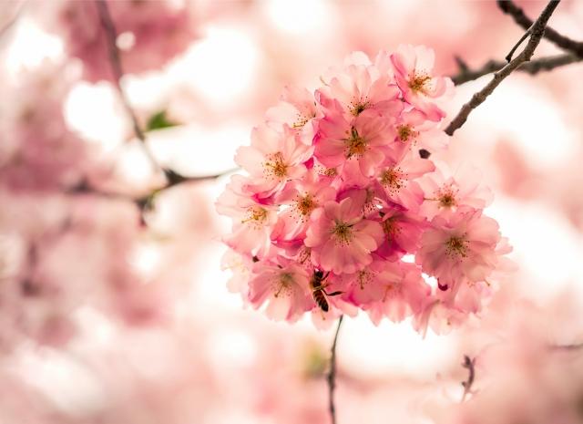 Kirschblüte, München, Biene, Blüte, Makro, Frühling