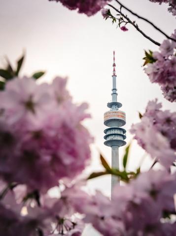 Kirschblüte, München, Olympiapark, Olympiaturm, Blüten, Frühling