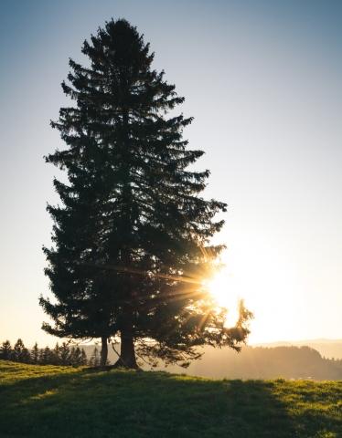 Allgäu, Gegenlicht, Deutschland, Tanne, Sonnenuntergang, goldene Stunde, Gold, Sonnenstern
