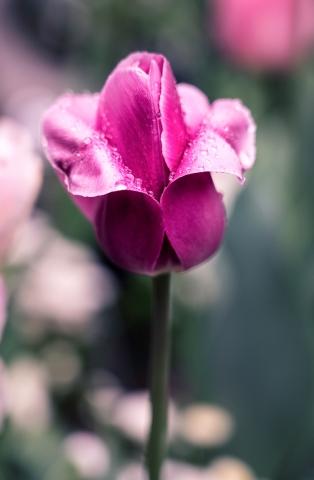 Tulpe, Pflanzen, Blume, Wassertropfen