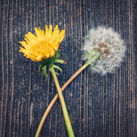 Löwenzahn, Pusteblume, alt und neu, frühling, Blumen