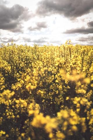 Rapsfeld, gelb, Frühling, blühen, Raps, Monokultur