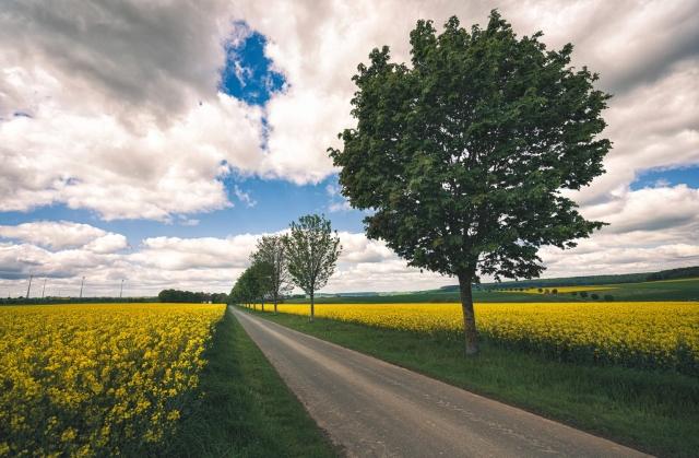 Allee, Frühling, Raps, Rapsfeld, Landwirtschaft