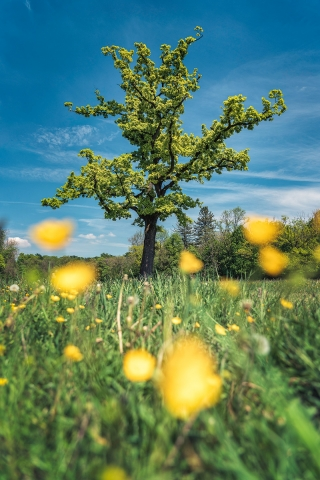 Baum, englischer Garten, Frühling, Blumen, blühen, München