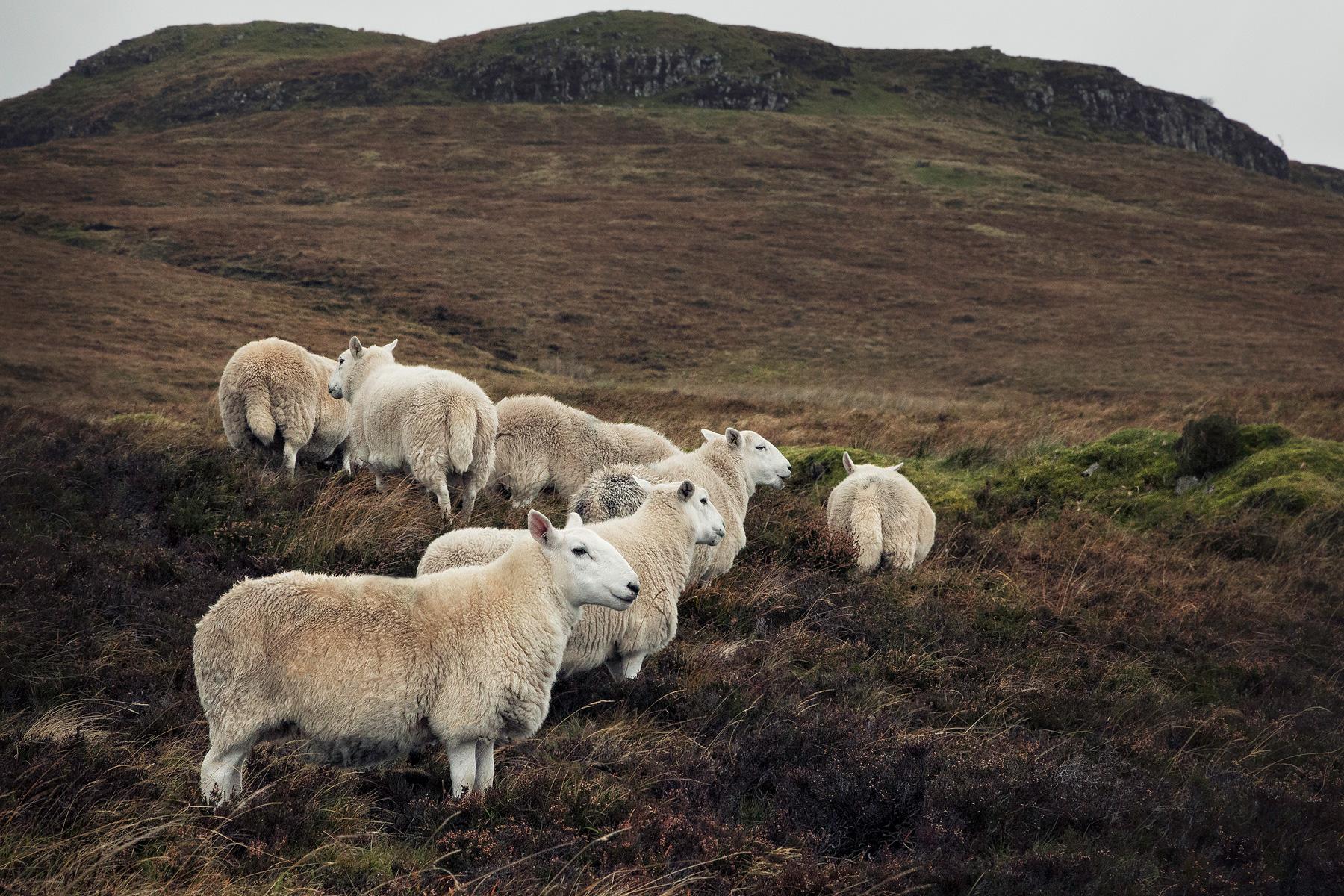 Jaworskyj Fotoreise, Lukas Voegelin, Schottland, Isle of Skye, Schafe