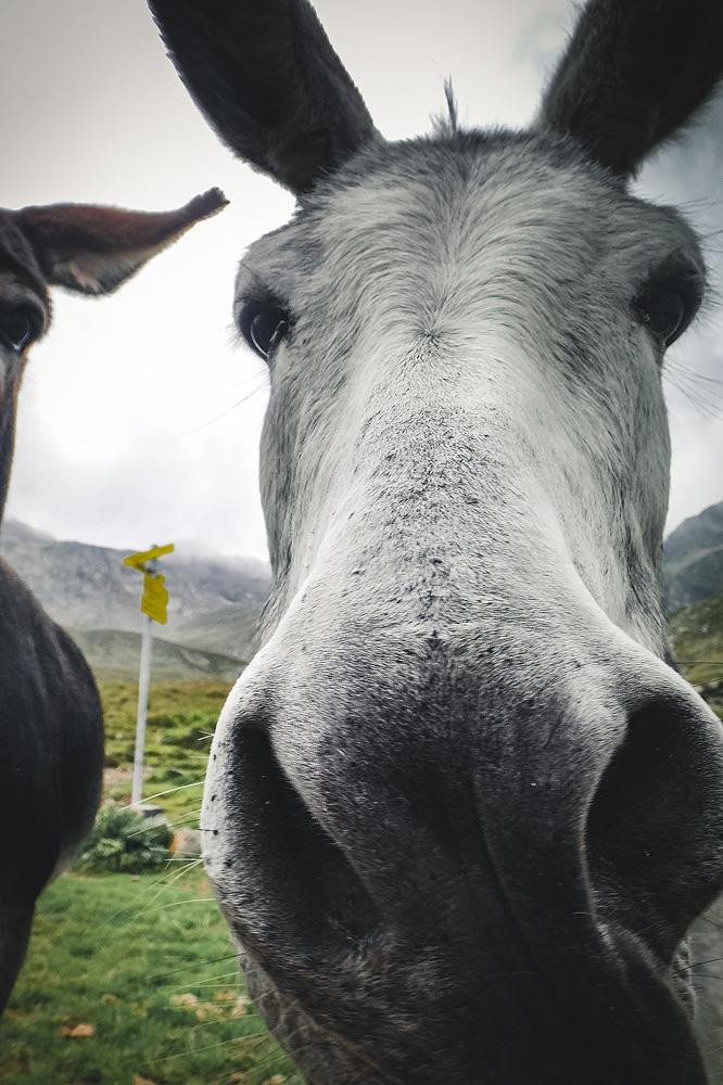 Esel an der Pforzheimer Hütte