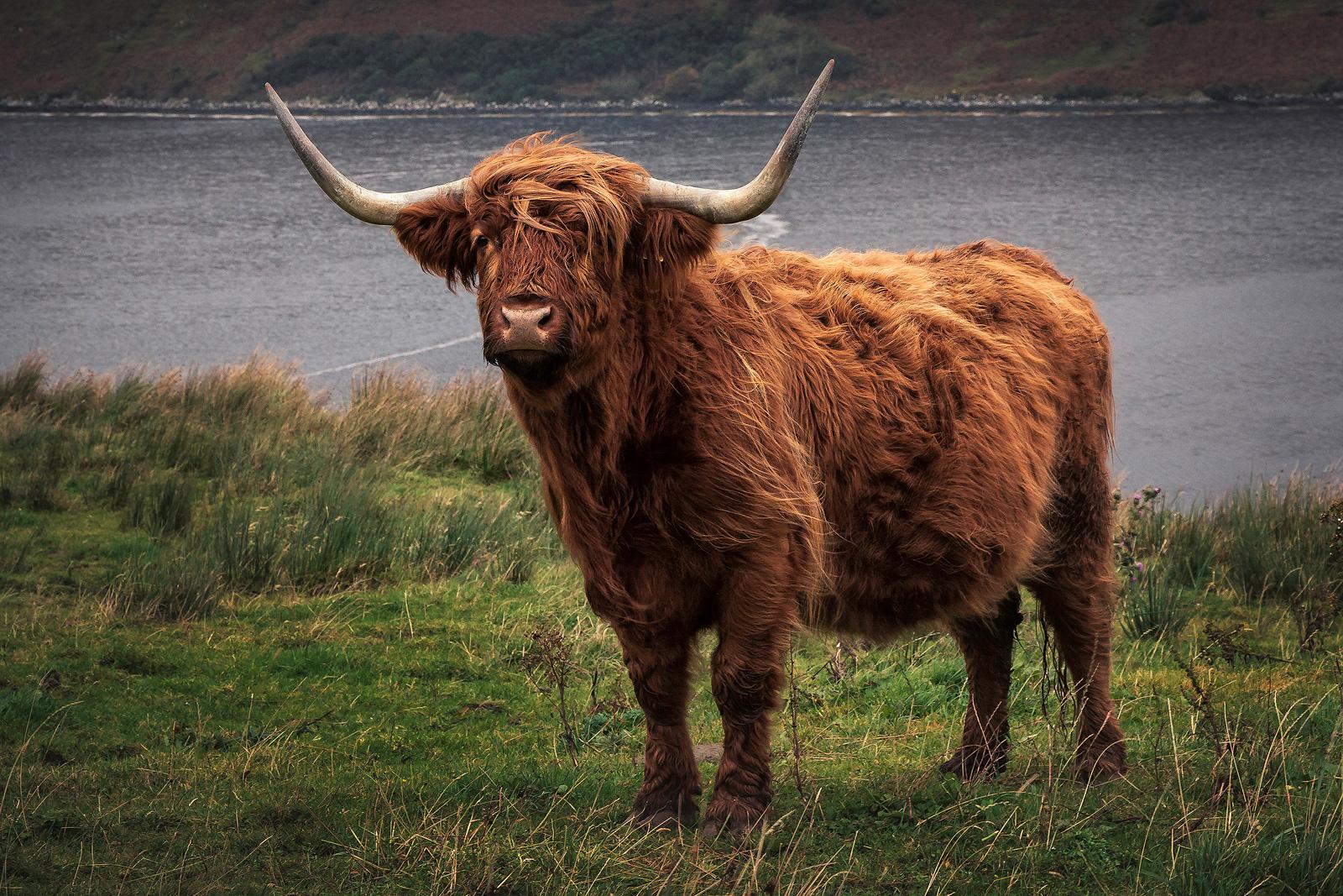 Kuh, Highland Cow, Reisebericht Isle of Skye, Schottland, Jaworskyj, Lukas Voegelin, abenteuerfotoreisen, kathrinsworld, Kathrin's World