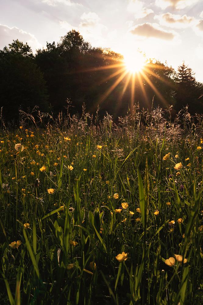 Blumenwiese mit Gegenlich im Perlacher Forst, München,